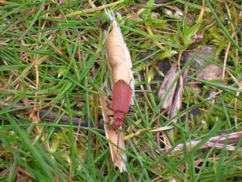 [Pyrochroa serraticornis] Le cardinal (coléoptères) Dscn1937-1--3d39776