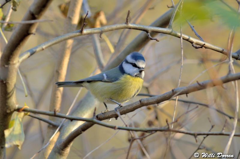 mésange bleue Dpp_-bleue--0004-3d23c34